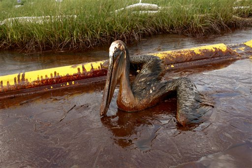 Pelican covered in oil from BP spill